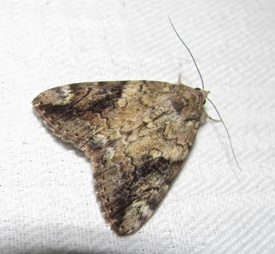 Underwing moth, Catocalas sp.
