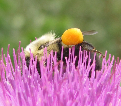 Bumble Bee with pollen