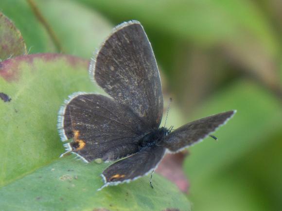 Eastern Tailed-Blue, female