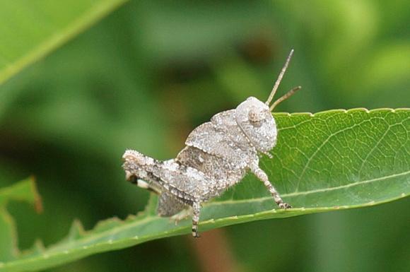 a grasshopper nymph