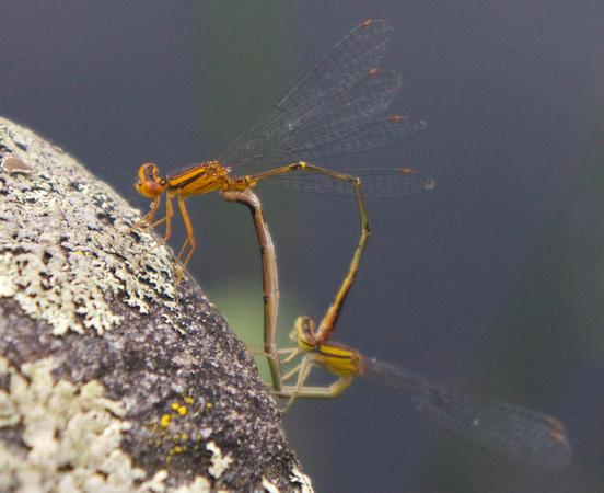 Orange Bluet pair mating