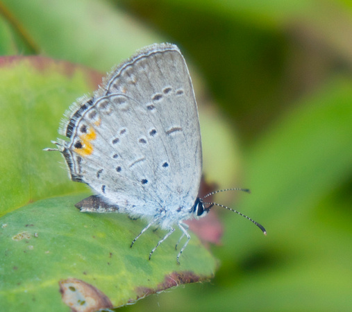 Eastern Tailed Blue, female