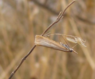 Crambine snout-moth