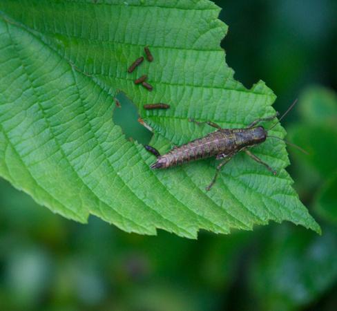 Wingless Grasshopper, female