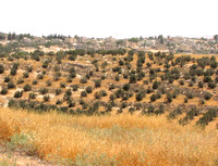Olive trees in Palestinian Territory.