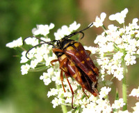 Banded Long-horned Beetle, mating pair