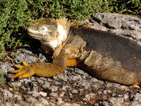 Land iguana - they dominate here