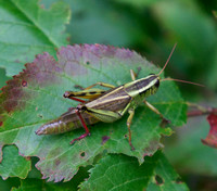 Two-striped Grasshopper, female