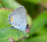 Eastern Tailed Blue, female