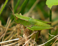Short-winged Grasshopper, late stage nymph