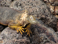 the hybrid between Land and Marine iguana is believed to be sterile
