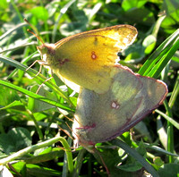 Clouded sulphurs, mating pair