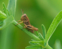 a grasshopper nymph