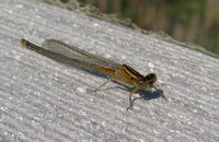 Eastern Forktail, young female