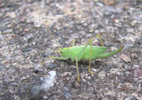 a meadow katydid, female