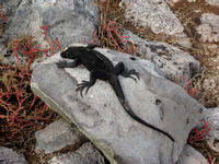 Marine iguanas are black when they are not breeding