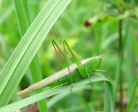 Katydid on a bent blade of grass