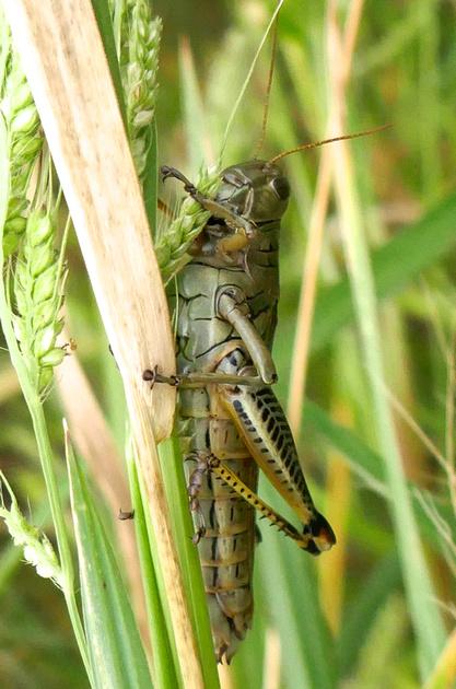 Differential Grasshopper, female  Chicago, IL