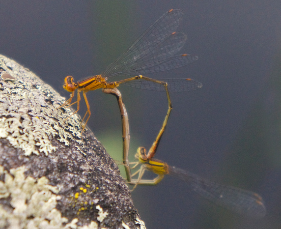 Orange Bluet pair mating