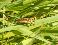 A very small grasshopper on a blade of grass