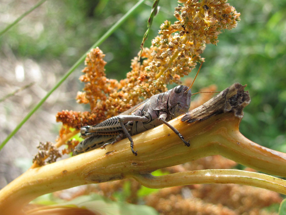 Grasshopper on amaranth