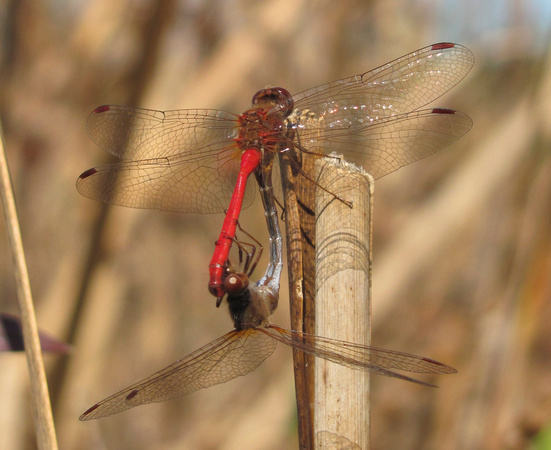 Meadowhawks, mating pair