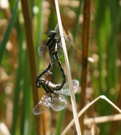 Green-striped Darner, mating pair