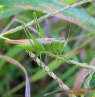 Slender Meadow Katydid