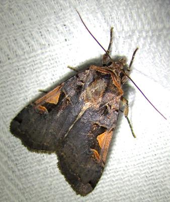 owlet moth sp.